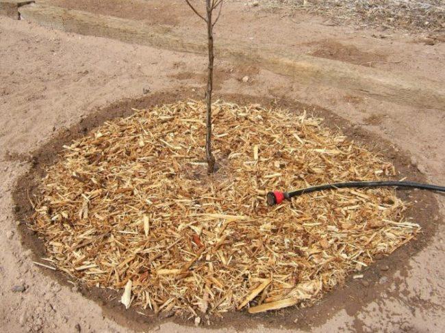 Полив и мульчирование яблоневого саженца при посадке осенью
