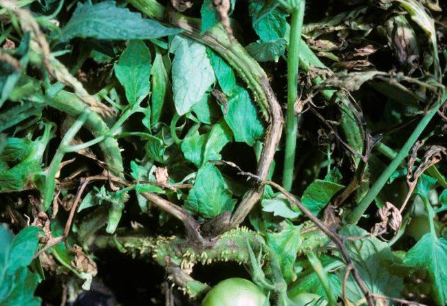 Куст помидоры при поражении сердцевидным некрозом