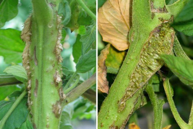 Стебли помидоры с типичными симптомами некроза в виде воздушных корней