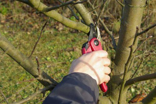Весенняя профилактическая обрезка подмерзших веток яблони