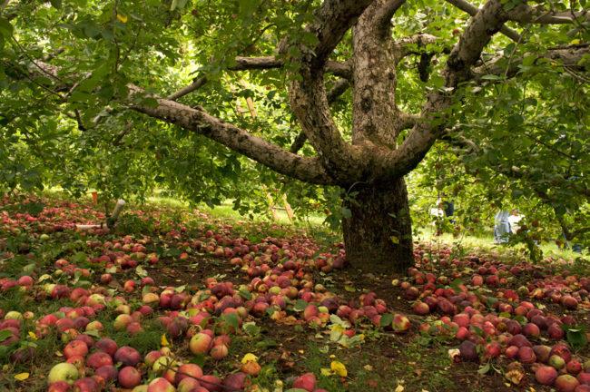 Россыпь опавших плодов под старой запущенной яблоней в городском парке