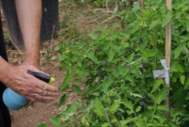 Опрыскивание кустов томатов от фитофторы в открытом грунте