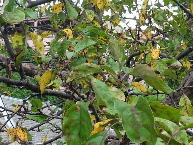 Признаки парши на желтых и зеленых листья яблони в виде темных пятен