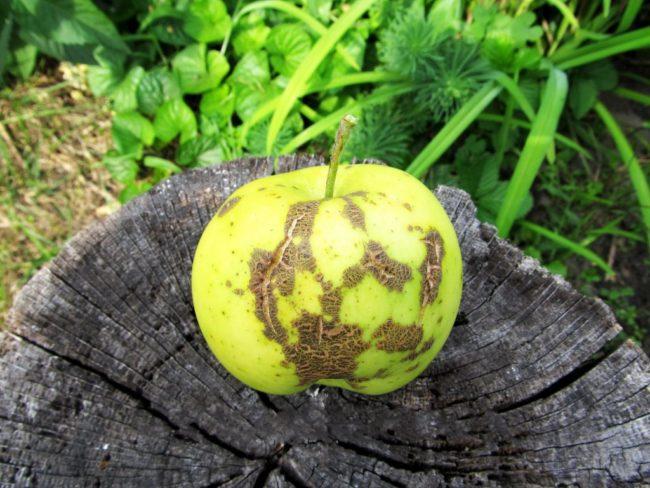 Желто-зеленое яблоко с коричневыми пятнами при поражении паршой