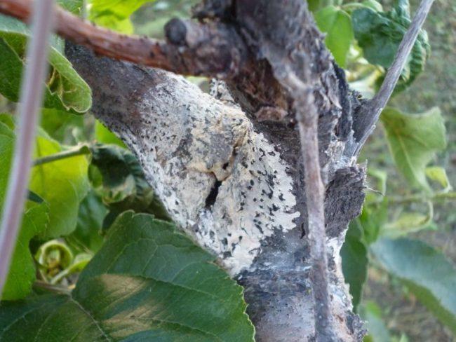 Серый налет на стволе яблони при поражении дерева паршой