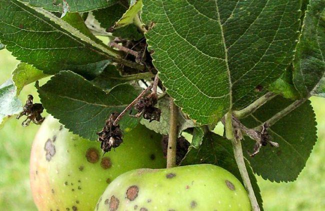 Засохшие завязи на ветке яблони вследствие поражения растения сумчатыми грибами