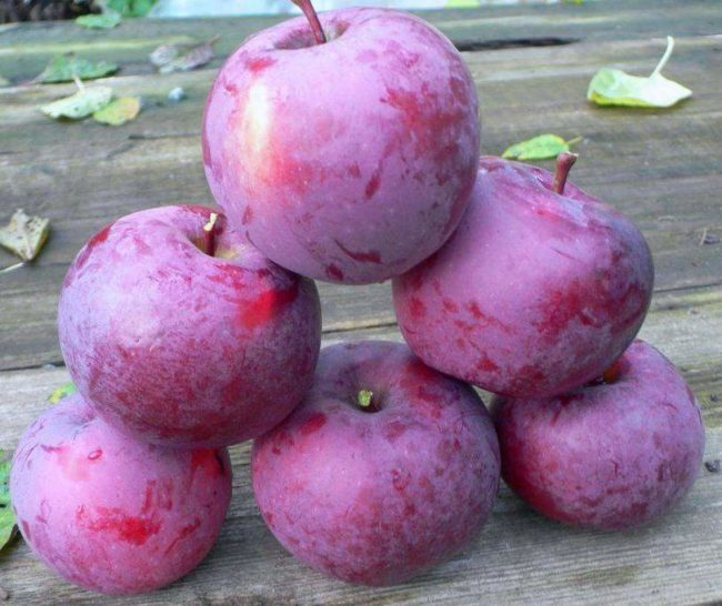 Небольшая пирамидки из красивых и вкусных яблок сорта Спартан