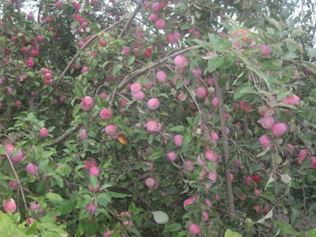 Ветки яблони сорта Спартан на деревянных подпорках в урожайный год
