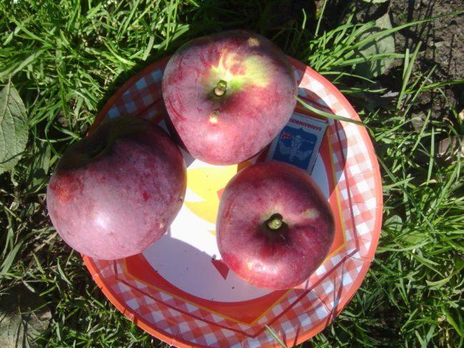 Три спелых яблока Спартан и спичечный коробок на фарфоровой тарелке