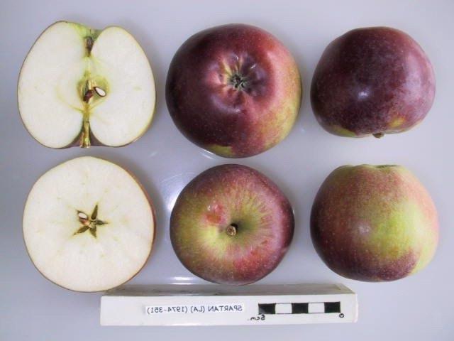 Внешний вид и разрез мякоти плодов яблони сорта Спартан канадской селекции