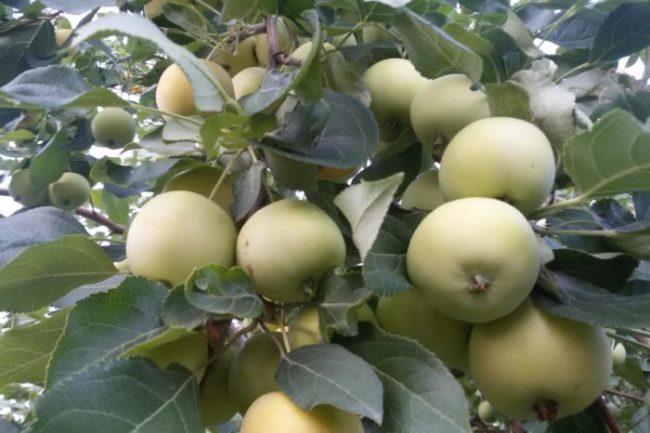 Ветки яблони с плодами сорта Уральское Наливное в период технической спелости