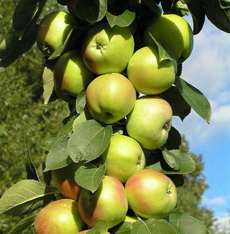 Желто-зеленые с небольшим румянцем плоды яблони сорта Президент