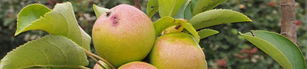 Созревающие плоды яблони сорта Президент колоновидная