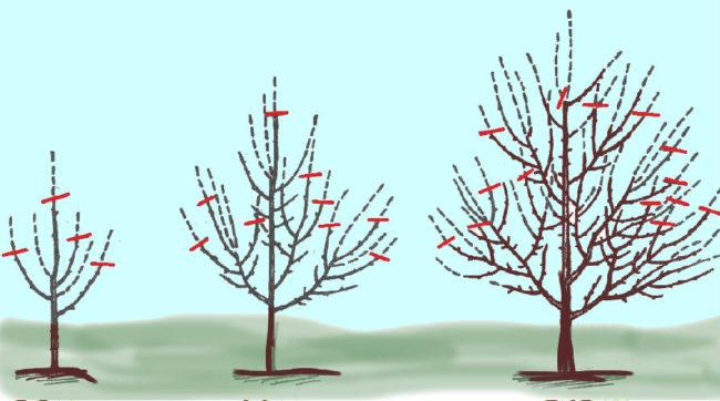 Схема обрезки яблоневого деревца в первые годы после посадки