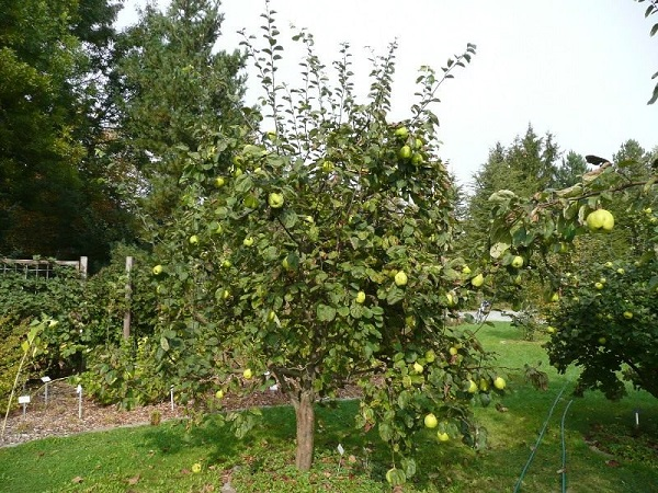Небольшое деревце яблони в частном саду Южного Урала