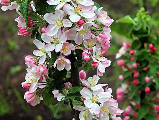 Розово-белые цветки на стволе колоновидной яблони гибридного сорта Президент