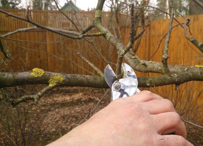Обрезка больных веток яблони садовым секатором поздней осенью