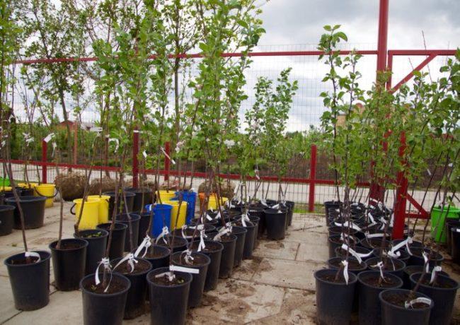 Саженцы яблонь в контейнерах с закрытой корневой системой