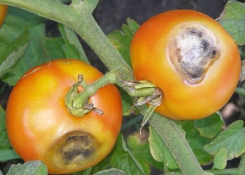 Симптомы заражения плодов помидоры серой гнилью