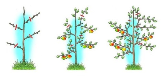 Схема формирования кроны колоновидной яблони в течении трех лет жизни деревца
