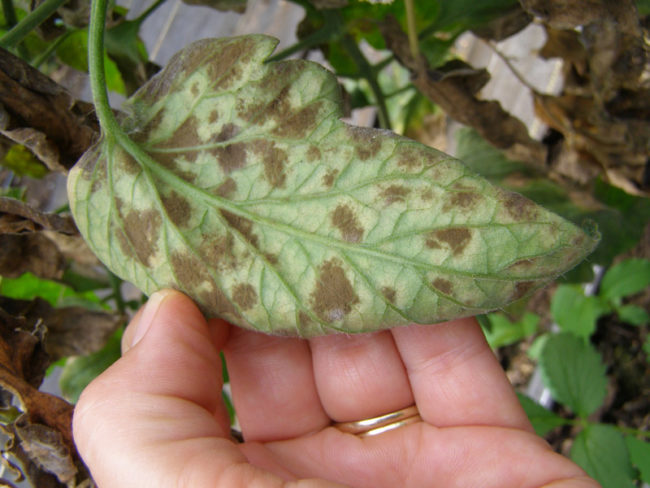 Обратная сторона томатного листа с мелкими бурыми пятнами при кладоспориозе