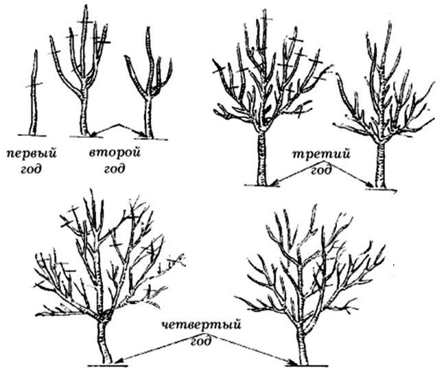 Порядок формирования кроны яблони с первого по четвертый года жизни растения