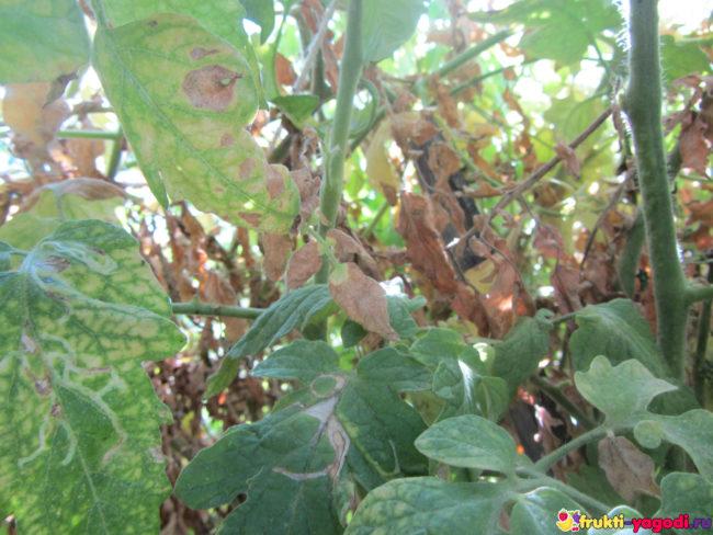 Сохнущий куст помидор и сухие листья