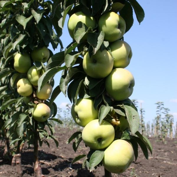 Зеленоватые яблочки селекционного сорта Президент на стволе небольшого деревца