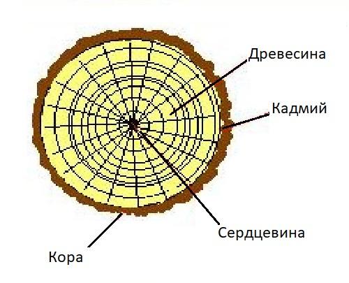 Строение ветки яблони и других плодовых деревьев
