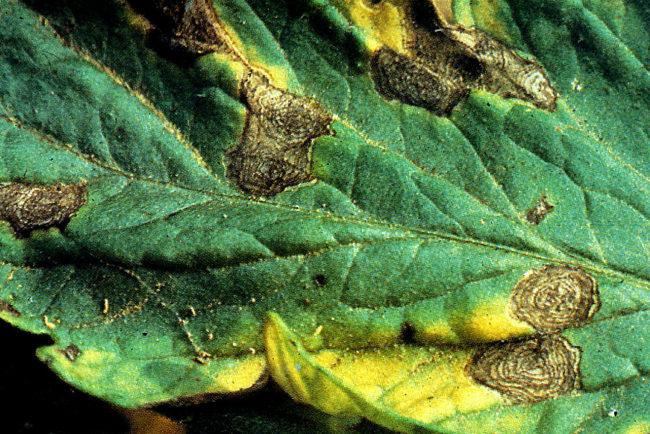 Лист помидоры вблизи с бурыми пятнами от альтернариоза
