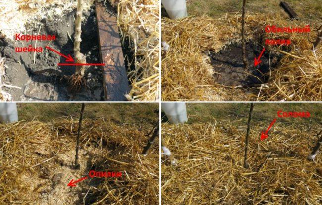 Процесс посадки колоновидной яблони и мульчирование саженца опилками и соломой