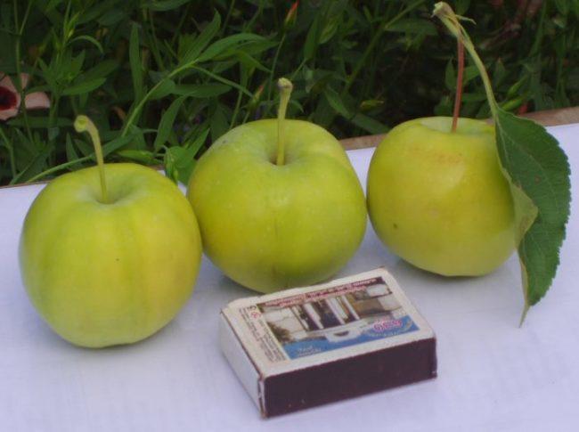 Три яблока сорта Уральское Наливное рядом со спичечным коробком