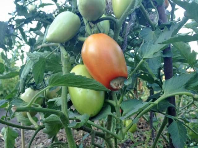 Розово-зеленоватый плод томата с вершинной гнилью на кусту в открытом грунте
