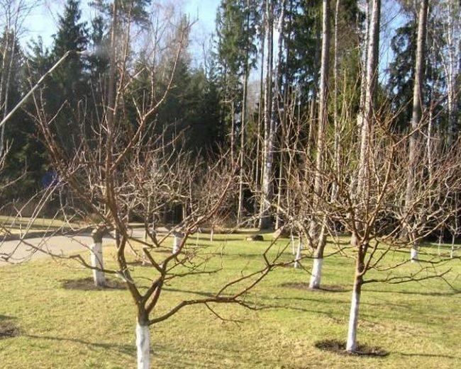Обработка подмерзших веток яблони холодной водой сразу после схода снега