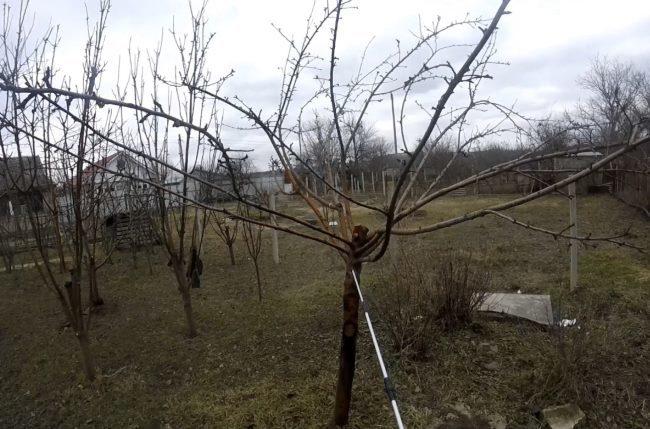Первая весенняя обработка молодых посадок яблонь медьсодержащим составом