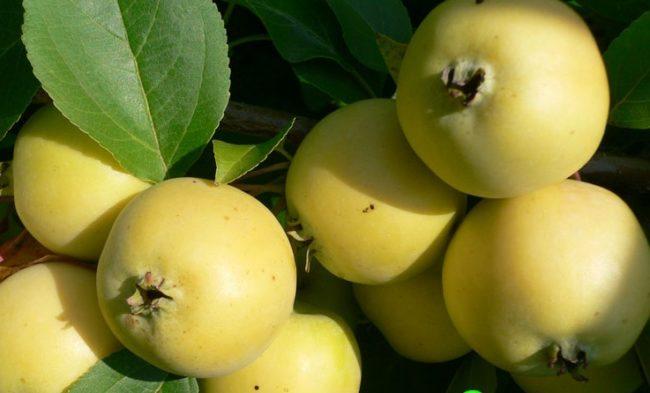 Спелые яблоки желто-зеленого окраса гибридного сорта Уральское Наливное