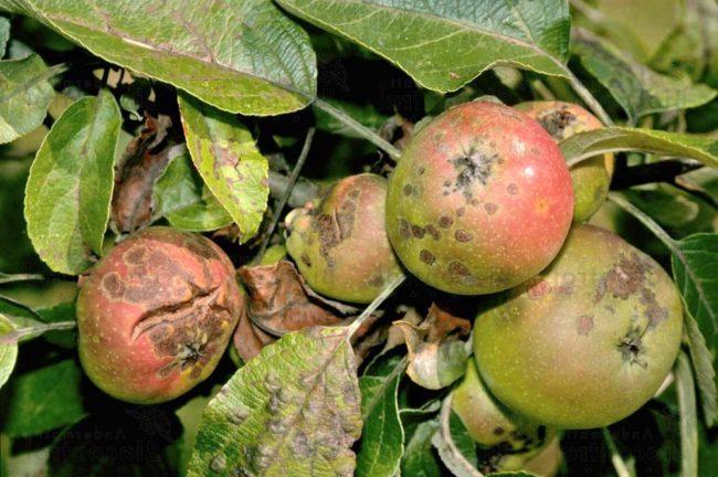 Растрескивание и гниение яблок на ветках при заражении растения паршой