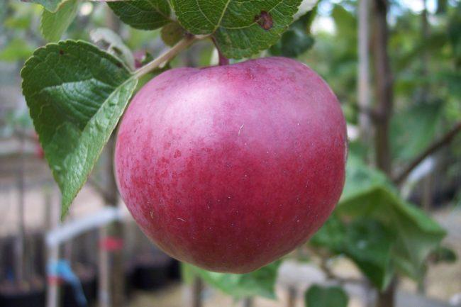 Большое яьлоко красно-бардового окраса на ветке яблони Спартан позднего срока созревания