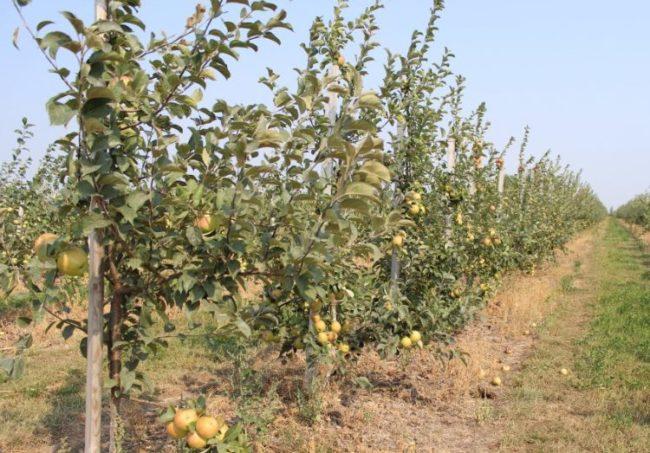 Посадки колоновидных яблонь в саду фермерского хозяйства
