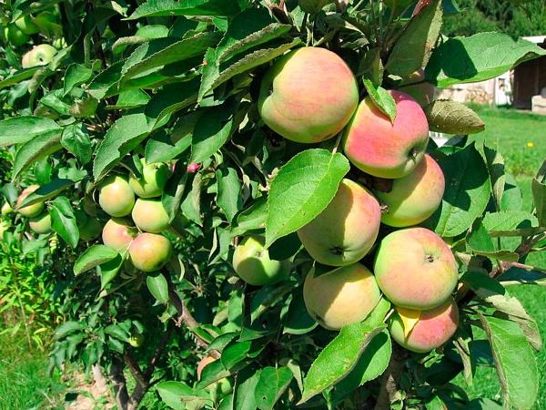 Ветки колоновидной яблони сорта Президент с плодами розово-зеленого окраса