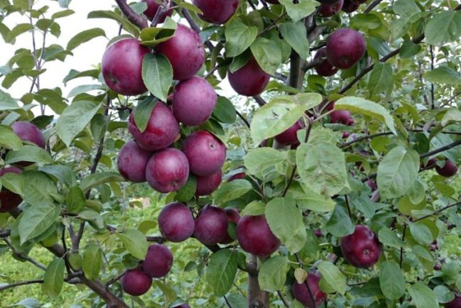 Темно-бардовые яблоки сорта Спартан на ветках с чистыми зелеными листьями