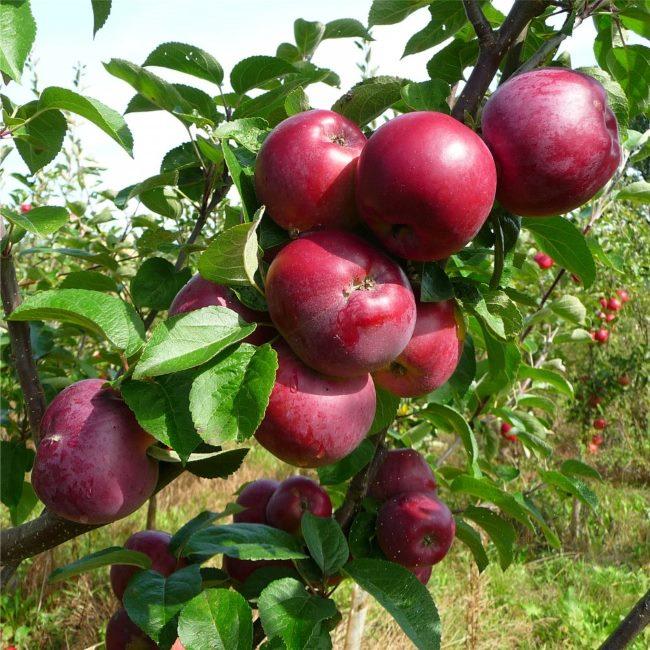 Ветка яблони сорта Спартан, густо облепленная красными плодами с восковым налетом