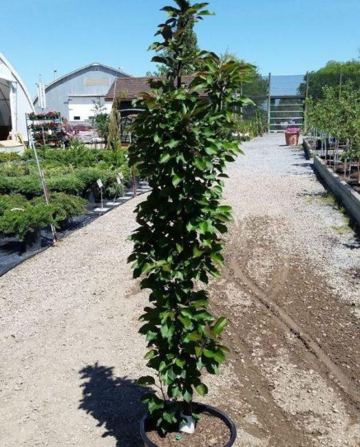 Деревце яблони колоновидной в пластиковом контейнере на дорожке плодового питомника