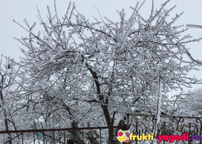 Дерево яблони Яндыковка зимует в снегу на дачном участке