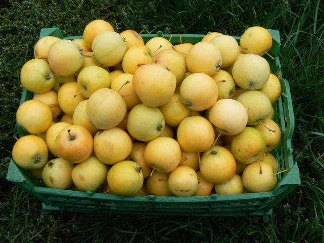 Пластиковый зеленый ящик со спелыми яблоками сорта Уральское Наливное