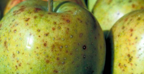 Мелкая точечная пятнистость на кожице яблока при альтернариозе