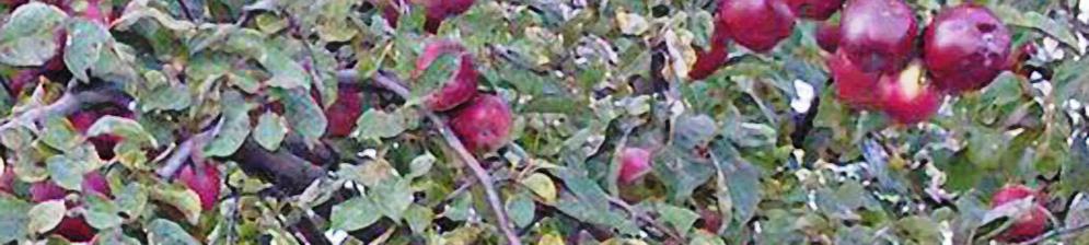 Дерево сорта Анис Свердловский с созревающими плодами