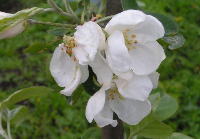 Белые крупные цветки яблони сорта Анис Свердловский Уральской селекции