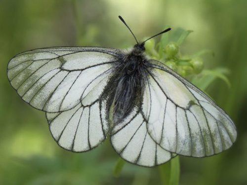 Бабочка боярышница с черными прожилками на больших белых крыльях