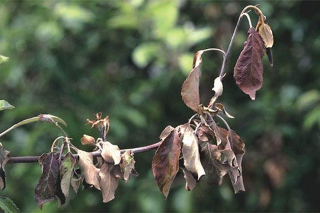 Сухие листья на ветке яблони при поражении дерева бактериальным ожогом